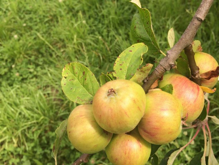 Ark of Taste, Oratia Beauty, Apple, Biodiversity